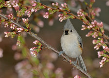 Bird in Cherry Tree a Titmouse Stock Images