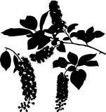 Bird cherry tree tree twigs. Isolated on a white background vector royalty free illustration