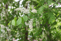 Bird cherry tree Royalty Free Stock Photo