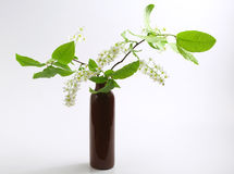 Bird cherry in vase Stock Photo