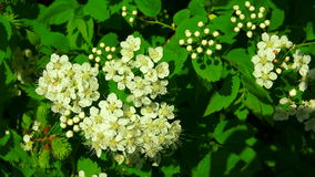 The bird cherry. White flowers. 4K. stock video footage