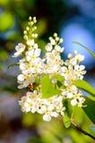 Bird cherry & x28;Prunus padus& x29; Stock Images