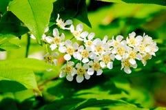 Bird cherry & x28;Prunus padus& x29; Royalty Free Stock Photo