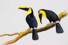 Bird Chesnut-mandibled Toucan sitting. Bird with Big beak bird Chestnut-mandibled Toucan sitting on the branch in with white background. Watercolor painting Royalty Free Stock Photo