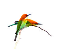 Bird (Chestnut-headed Bee-eaters) isolated on white background Royalty Free Stock Images