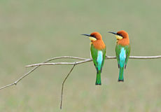 Bird (Chestnut-headed Bee-eaters) , Thailand Royalty Free Stock Photo