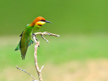 Bird (Chestnut-headed Bee-eaters) , Thailand Stock Images