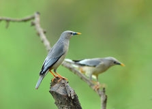 Bird (Chestnut - tailed Starling) , Thailand Stock Photos