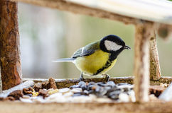 Bird, chickadee, beak, wings, tail, nature, animals, manger, feather, close up. Tit - a small, lively, intelligent, clever, brave and always enterprising birds Stock Photo