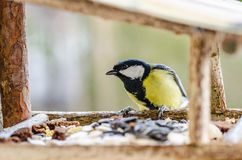 Bird, chickadee, beak, wings, tail, nature, animals, manger, feather, close up Royalty Free Stock Photography