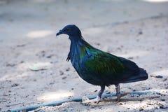 Bird chicken Blue Royalty Free Stock Photo