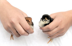 Bird chicks  Stock Images
