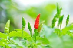 Bird chilli Royalty Free Stock Image