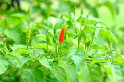 Bird chilli Stock Photo