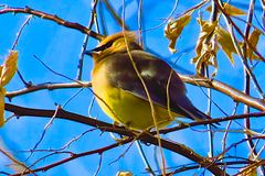 Cedar Waxwing and Blue Sky royalty free stock images