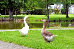 Bird, Chinese goose & Graylag goose walking Royalty Free Stock Photos
