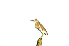 Bird (Chinese Pond Heron) Stock Photos