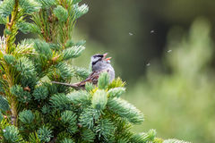 Bird. Chirp on the pine tree royalty free stock photos
