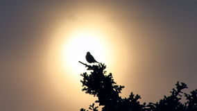 Bird chirping in treetop backlit by setting sun stock video footage