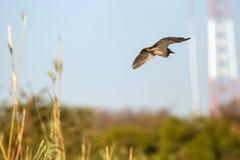Bird - Chobe N.P. Botswana, Africa Stock Image