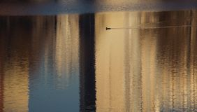Bird on the lake in reflections of buildings royalty free stock photography