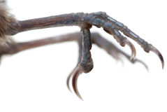 Bird claw isolated Stock Image