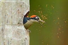 Bird cleaning nest hole. Woodpecker from Costa Rica, Black-cheeked Woodpecker, Melanerpes pucherani, bird in the nature habitat,. Costa Rica. Animal nesting royalty free stock photo