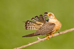 Bird cleaning tail plumage. Red-footed Falcon, Falco vespertinus, bird sitting on branch with clear green background, cleaning plu. Mage Royalty Free Stock Photos