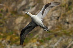 Bird on the cliff. Flying sea bird, Northern gannet with rock in the background, Runde Island, Norway. Gannet in fly in the nature Royalty Free Stock Images