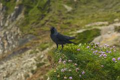 Bird on a cliff juristic coast Dorset Stock Images