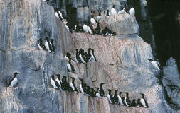 Bird Cliffs. Hundreds of murres (also known as guillemots) depend on the relative safety of these cliffs to lay their eggs Royalty Free Stock Photos
