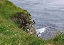 Bird cliffs at Látrabjarg, westernmost point of Iceland royalty free stock photos
