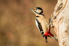 Great Spotted or Syrian Woodpecker. Bird climbing the tree, Bird in its natural environment Stock Photos