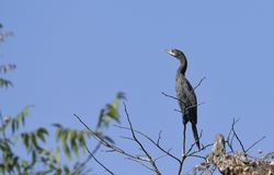 Free Bird : Close Up Of A Little Cormorant Perched On A Branch Stock Image - 113312391