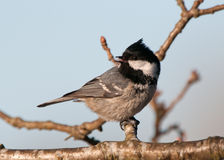 Bird Coal Tit (Parus Ater) looking behind Royalty Free Stock Photography