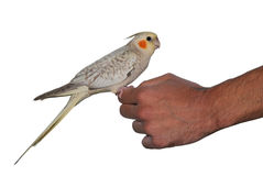 Bird cockatiel pet cinnamon pearl mutation Stock Photos