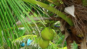 Bird on coconut tree. Brown tropical bird sitting on the cocnut tree stock footage