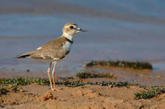 Bird Collared Plover (Charadrius collaris royalty free stock photography
