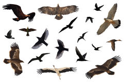 Bird Collection. A number of birds isolated on white royalty free stock photos