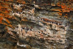 Bird colony on beautiful colour rock. Brunnich's Guillemot, Uria lomvia, white bird with black head sitting on orange stone, Royalty Free Stock Images