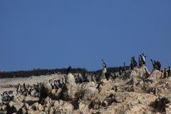 Bird Colony Islas Ballestas Stock Photo