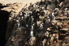 Bird Colony Islas Ballestas Stock Image