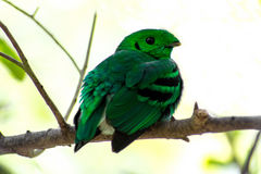 Bird color (green broadbill) bird in vivid green color in forest Royalty Free Stock Photography