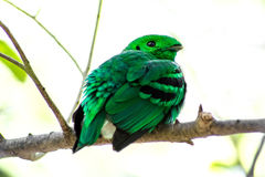 Bird color (green broadbill) bird in vivid green color in forest Royalty Free Stock Photo