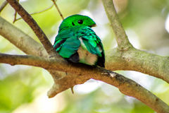 Bird color (green broadbill) bird in vivid green color in forest Royalty Free Stock Images