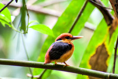 Bird colorful beautiful black-backed Kingfisher & x28;Ceyx erithacus& x29; Stock Photography