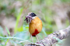 Bird colorful (Blue winged pitta) eating earthworms in forests Royalty Free Stock Image