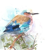 Bird colorful feather bird roller watercolor painting illustration isolated on white background. Bird colorful feather bird roller watercolor painting Royalty Free Stock Image