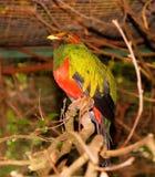 Bird, Colorful, Gold Head-Quetzal Royalty Free Stock Photos