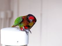 Bird, colorful rainbow lorikeet in aviary, Florida Royalty Free Stock Images
